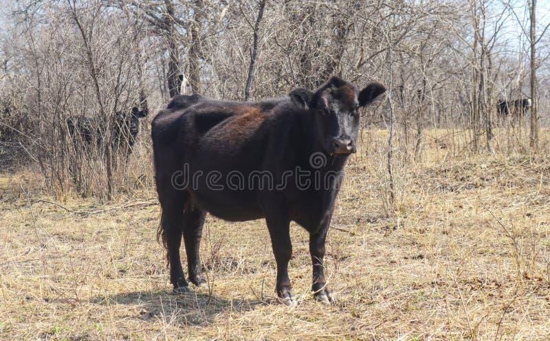 黑看今后在树前面的冬天领域的安格斯母牛侧视图 免版税图库摄影