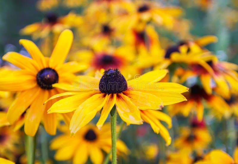 黑眼睛的苏珊或黄金菊hirta植物,褐色长颈瓶, gloriosa雏菊,金黄耶路撒冷 库存图片