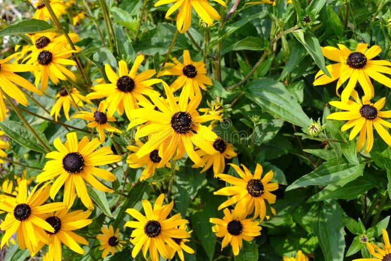 黑眼睛的苏珊或黄金菊hirta黄色花在庭院里 免版税库存照片