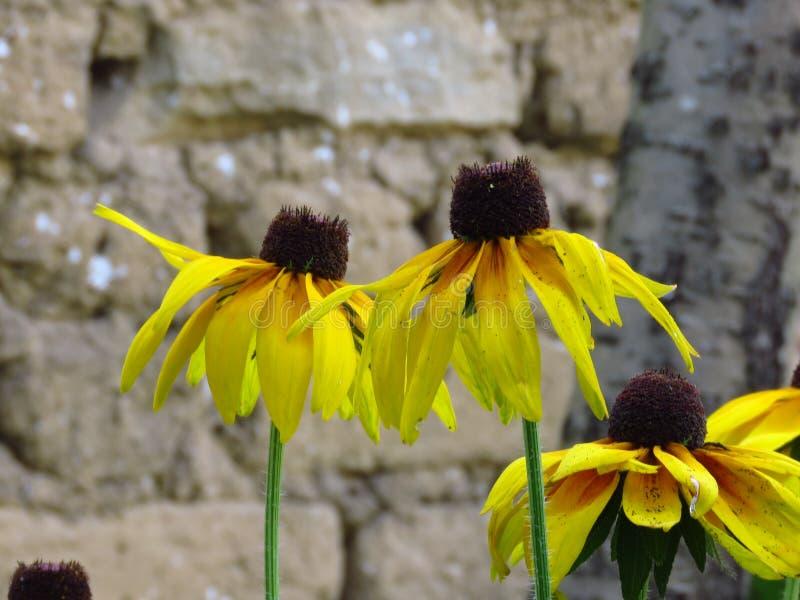 黑眼睛的susans 黄色夏天庭院花 免版税库存照片