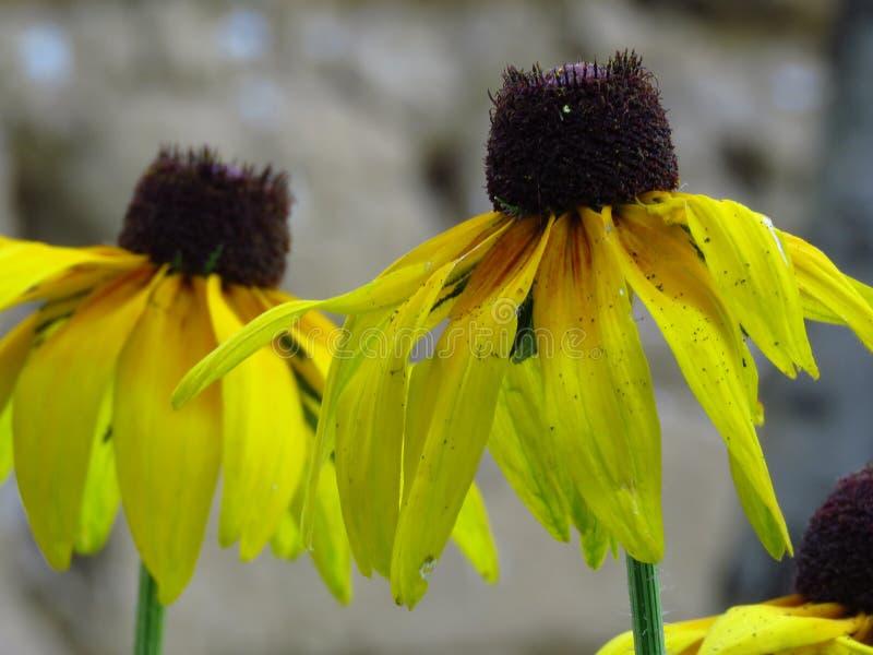 黑眼睛的susans 黄色夏天庭院花 库存照片