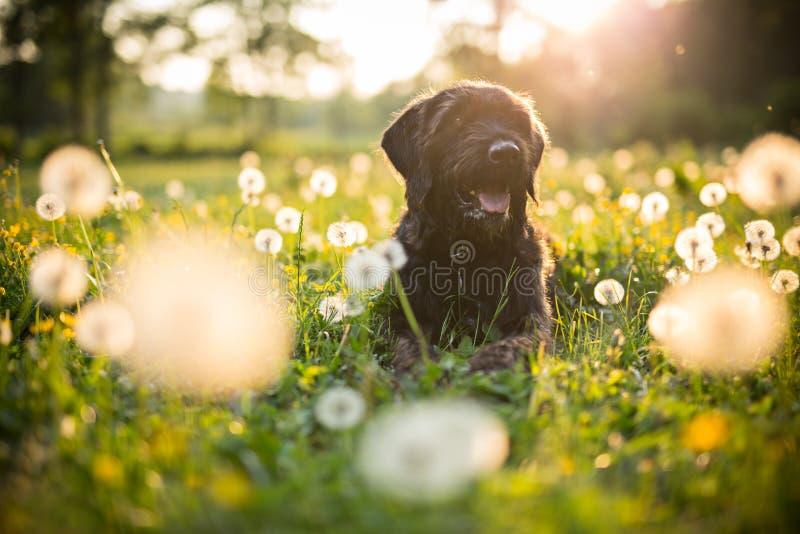 黑笨蛋狗画象在日落期间的在草甸 库存图片