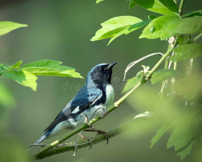黑红喉刺莺的蓝色鸣鸟坐分支 图库摄影