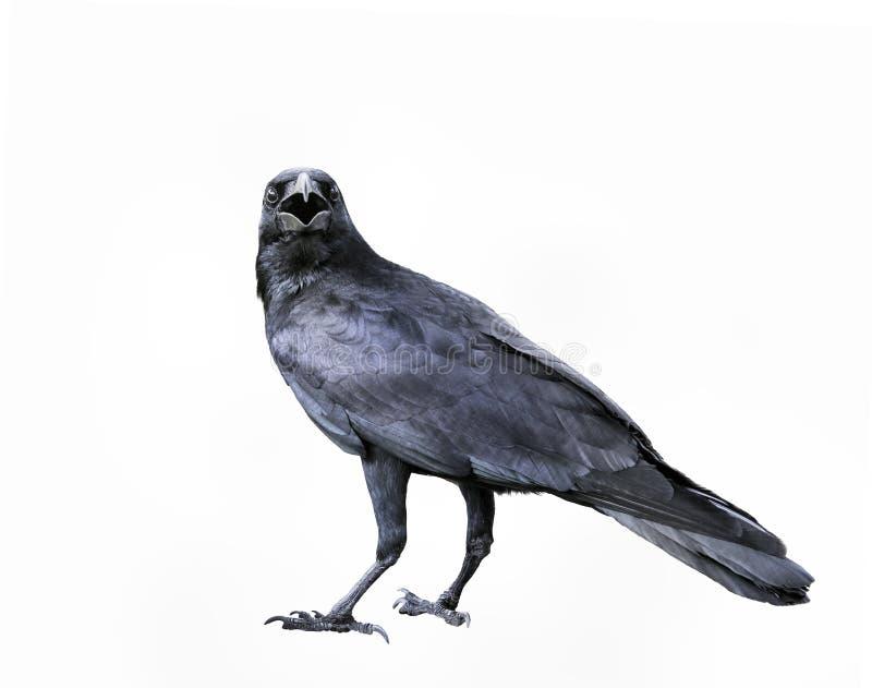 黑羽毛乌鸦,掠夺鸟充分的身体隔绝了白色backgr 免版税图库摄影