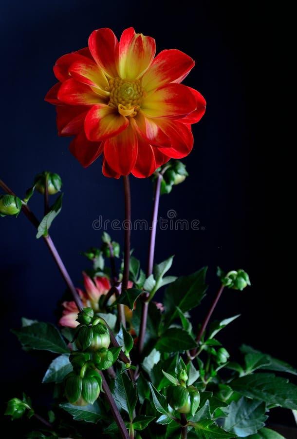 黑背景红色的大丽花植物打翻了有黄色眼睛的黄色瓣 库存图片