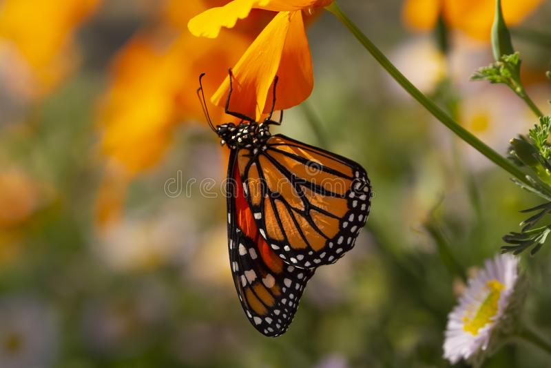 黑脉金斑蝶从鸦片瓣垂悬 免版税库存图片
