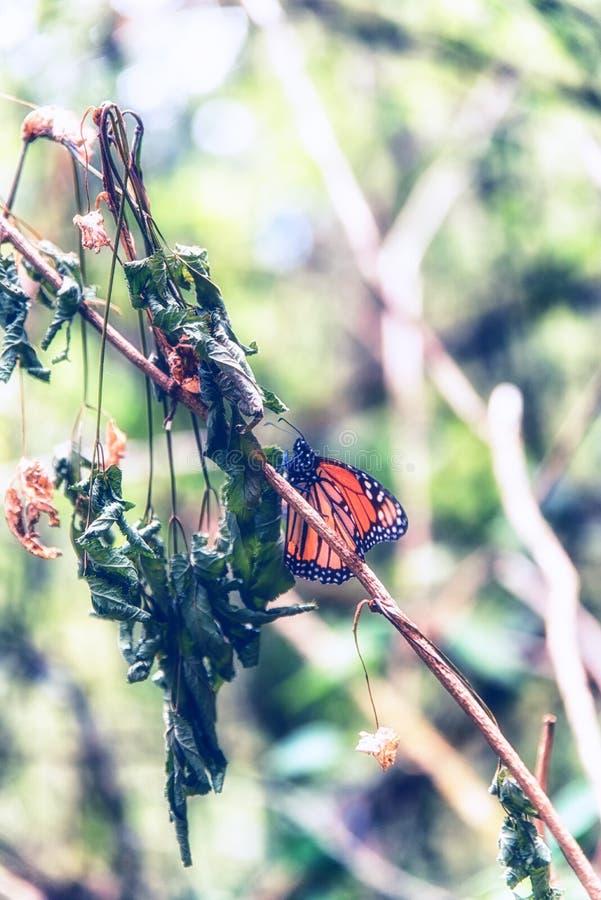 黑脉金斑蝶关闭 库存照片