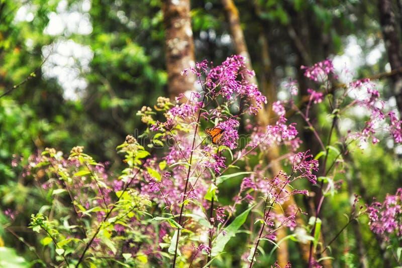 黑脉金斑蝶和桃红色花 库存图片