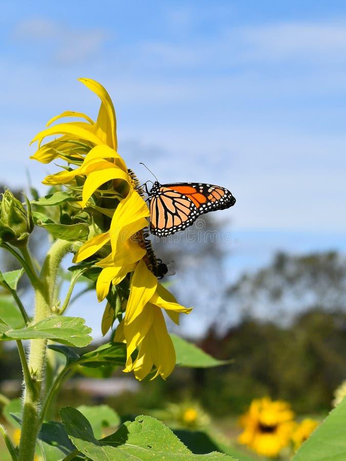 黑脉金斑蝶和黄色向日葵在秋天天在Littleton,马萨诸塞,密德萨克斯郡,美国 新英格兰秋天 免版税库存图片