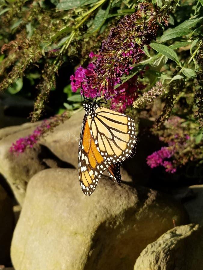 黑脉金斑蝶喝从与岩石的蝴蝶灌木丛花的- Danaeus plexippus 库存图片