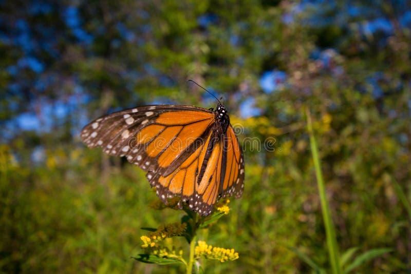 黑脉金斑蝶在安大略provin的丹尼亚斯plexippus细节  库存图片