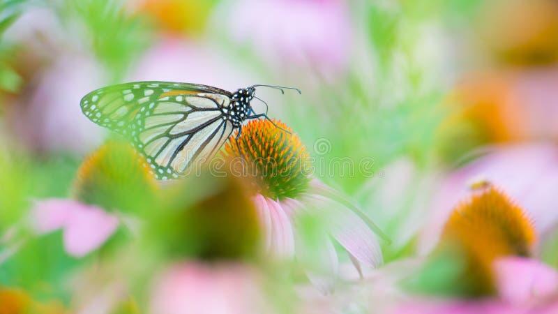 黑脉金斑蝶在紫色/桃红色海胆亚目花海在明尼苏达谷全国野生生物保护区 图库摄影