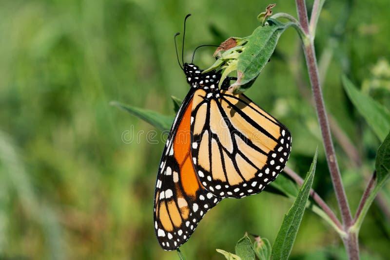 黑脉金斑蝶收集花蜜的丹尼亚斯plexippus从花 库存图片