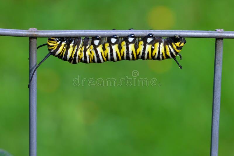 黑脉金斑蝶毛虫 图库摄影