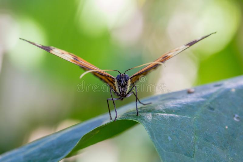 黑脉金斑蝶特写镜头坐叶子 库存图片