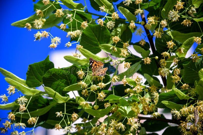 黑脉金斑蝶进行叫其中一最壮观的自然现象在美国的每年迁移 免版税库存图片