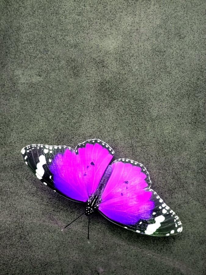 黑脉金斑蝶,隔绝在灰色织地不很细背景 库存照片