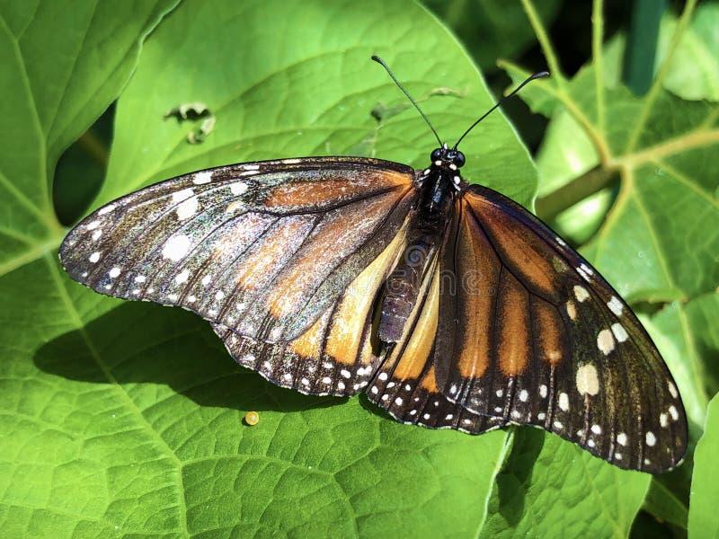 黑脉金斑蝶,Monarchfalter Schmetterling或丹尼亚斯plexippus博登湖的花海岛Mainau 免版税库存图片