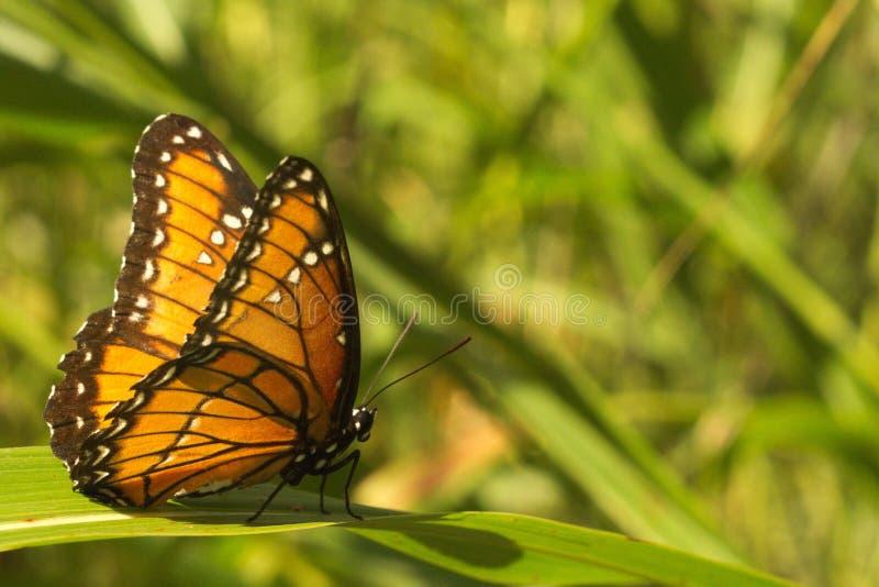 黑脉金斑蝶 图库摄影