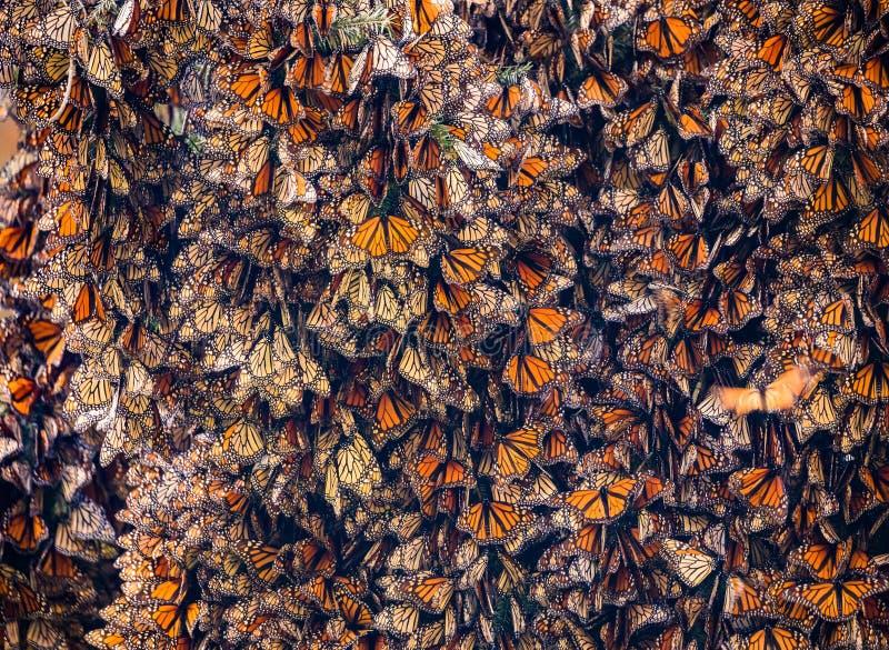 黑脉金斑蝶Kalaeidoscope,丹尼亚斯plexippus,在Oyamel树会集了 库存图片