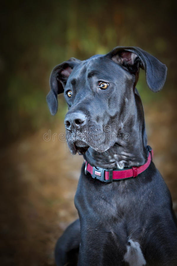 黑色丹麦种大狗狗 库存照片
