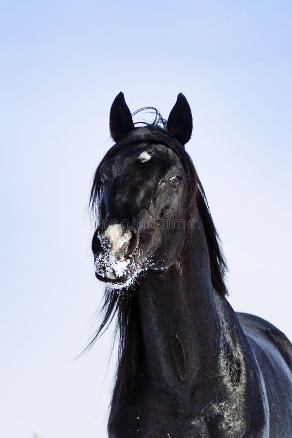 黑色公马的纵向 图库摄影