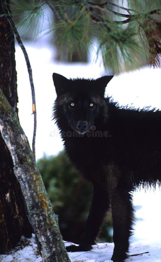 黑色凝视狼 免版税库存图片