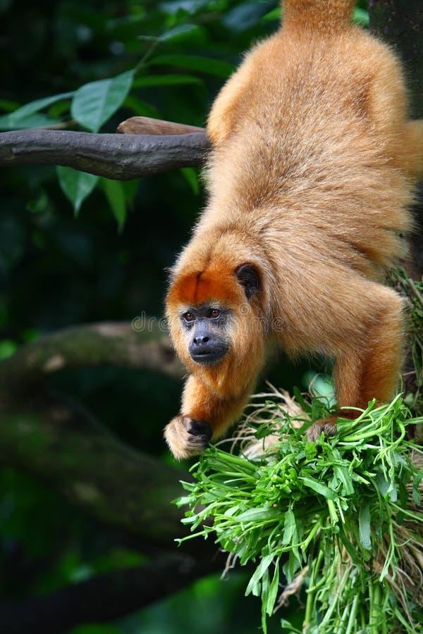 黑色吼猴 库存照片