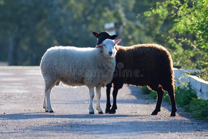 黑色和一只白羊 免版税库存图片