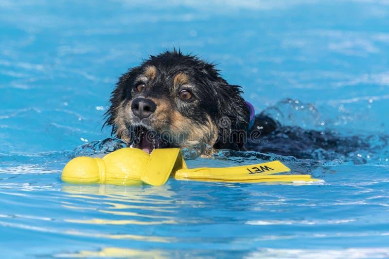 黑色和棕褐色澳大利亚人在泳池里玩玩具 免版税库存图片
