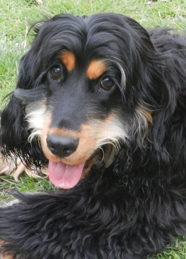 黑色和Tan猎犬小狗 库存照片
