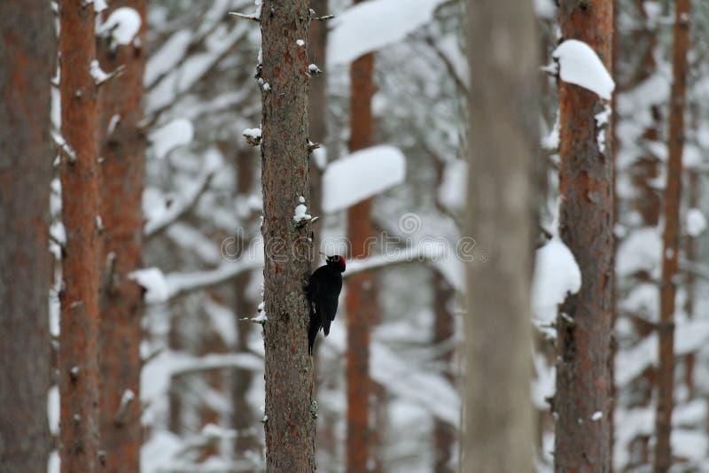 黑色啄木鸟在冬天 免版税图库摄影