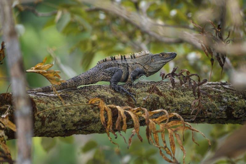 黑色多刺被盯梢的鬣鳞蜥- Ctenosaura similis 库存图片