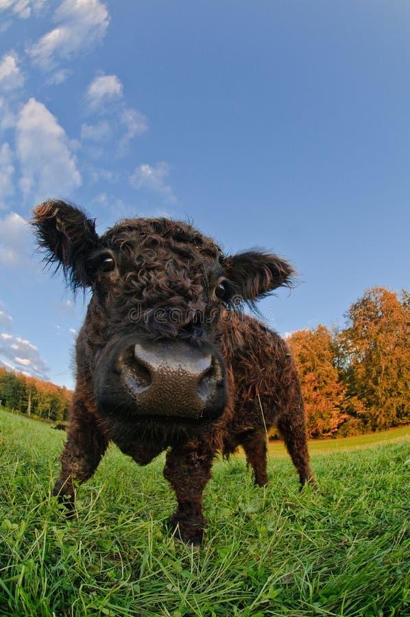 黑色小牛 免版税库存图片