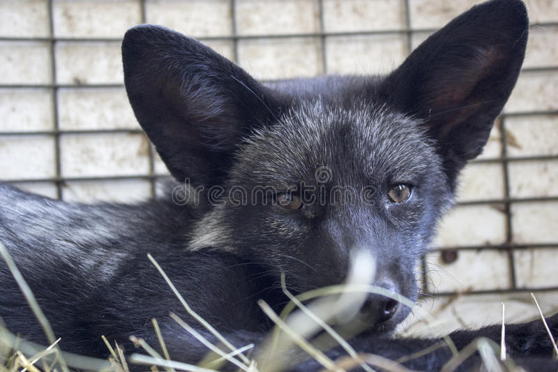 黑色小狐狸 免版税库存照片
