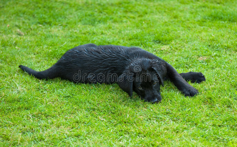 黑色小狗猎犬 免版税库存图片