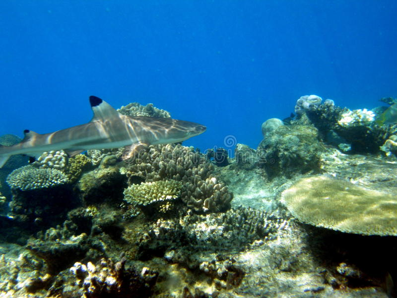 黑色巡航的斐济礁石鲨鱼技巧 免版税库存照片
