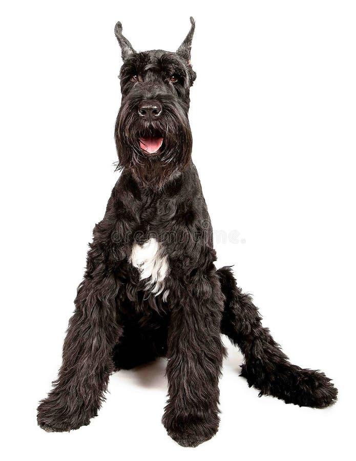 黑色巨型髯狗 库存图片