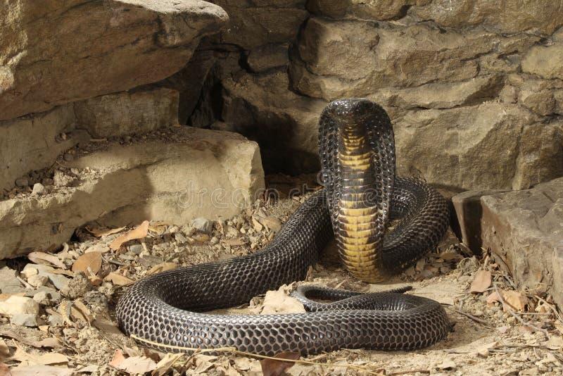黑色巴基斯坦眼镜蛇 图库摄影