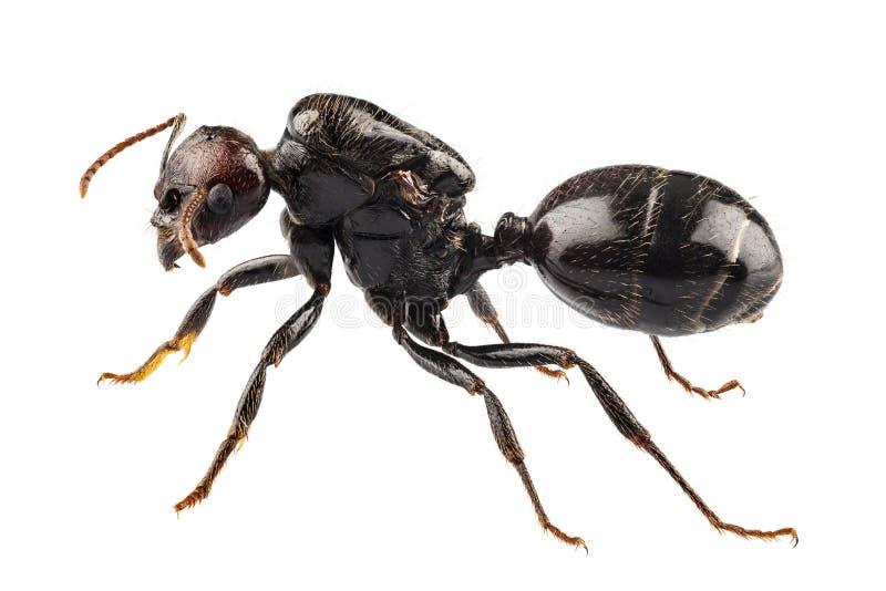 黑色庭院蚂蚁种类Lasius尼日尔 免版税库存图片