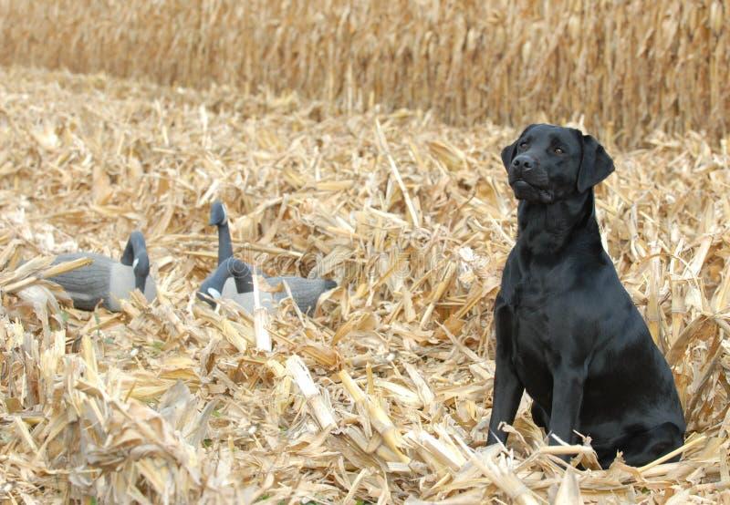黑色拉布拉多猎犬 免版税图库摄影