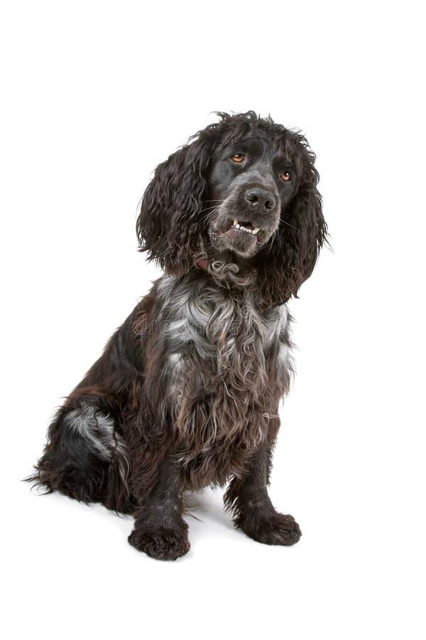 黑色斗鸡家狗灰色西班牙猎狗 库存照片