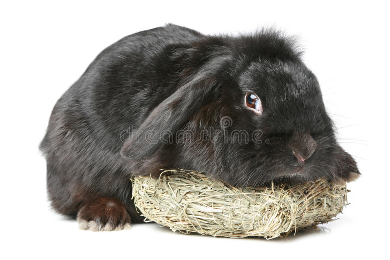 黑色有耳砍兔子 库存图片