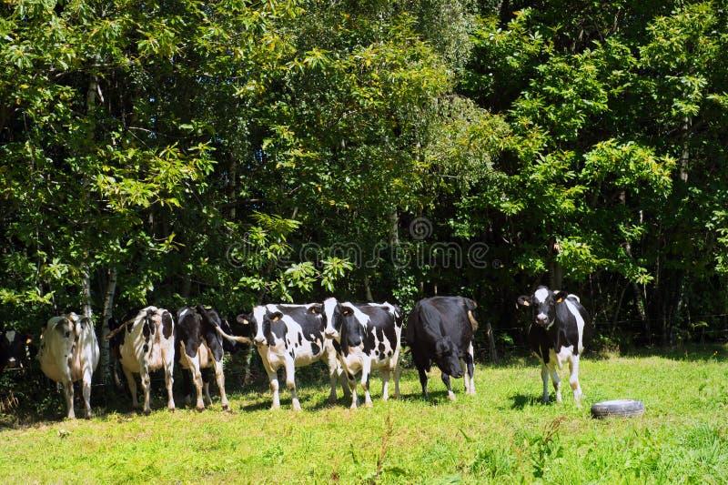 黑色母牛种田英国waltshire白色 库存图片