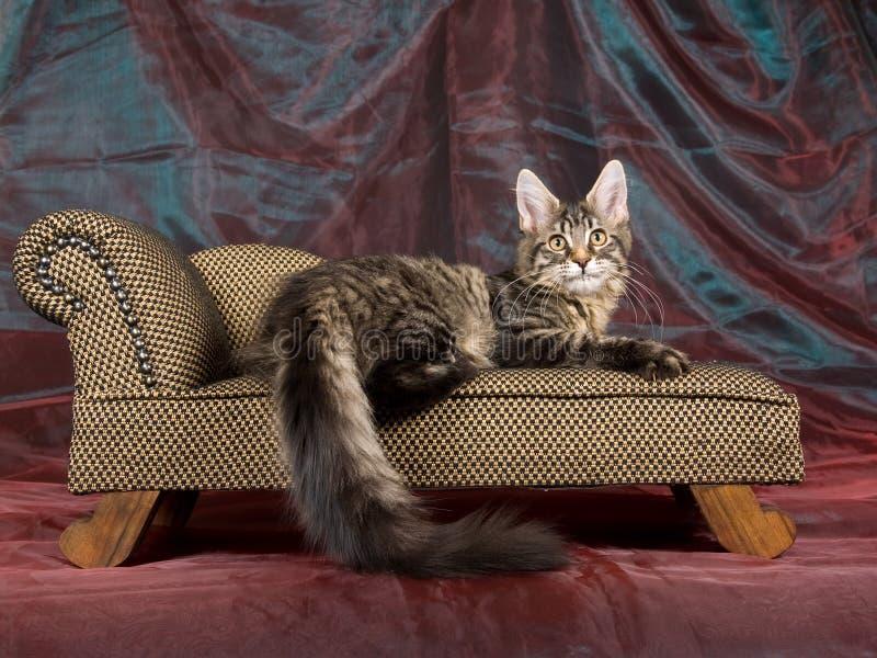 黑色浣熊小猫缅因俏丽的沙发平纹 库存图片