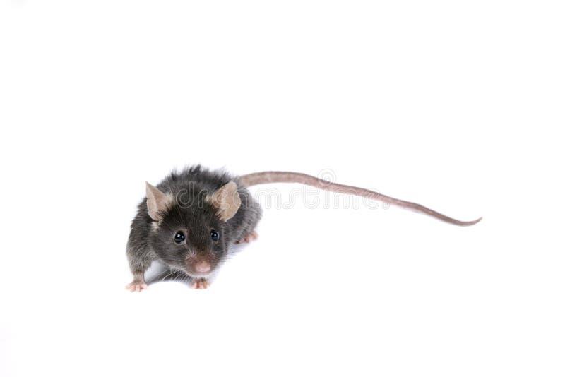 黑色滑稽的鼠标 库存图片