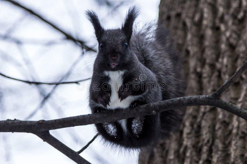 黑色灰鼠 库存照片