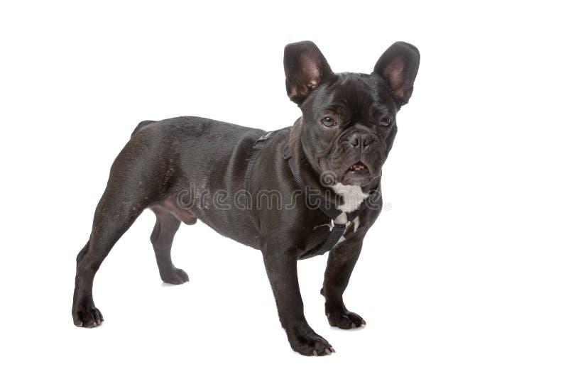 黑色牛头犬法国白色 库存照片
