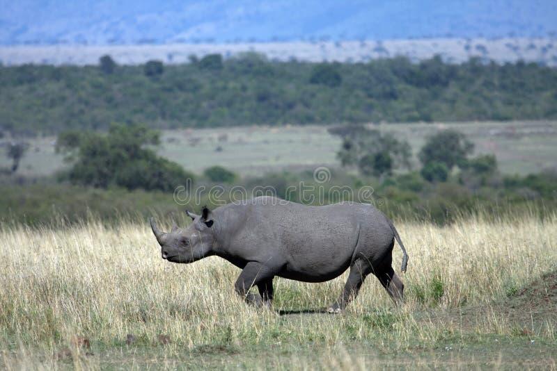 黑色犀牛 库存照片