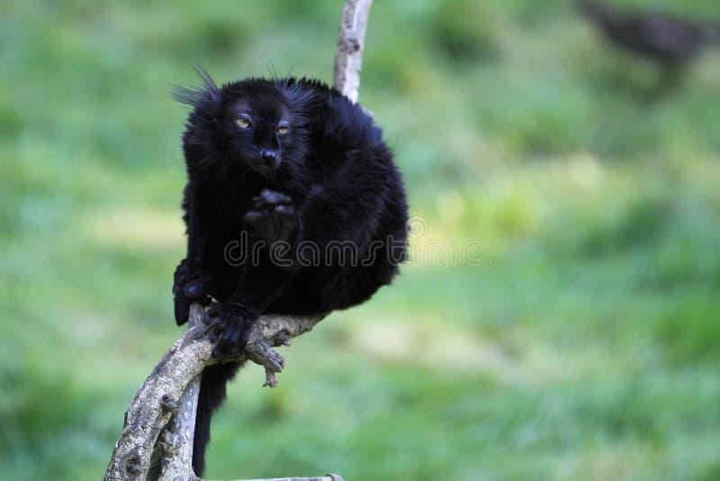 黑色狐猴 库存图片